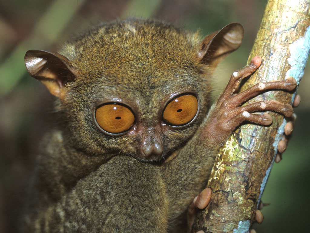 tarsierface-1024 - The Cute Tarsier - Philippine Photo Gallery