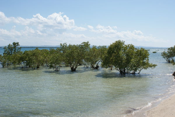 Mangrove near Beach