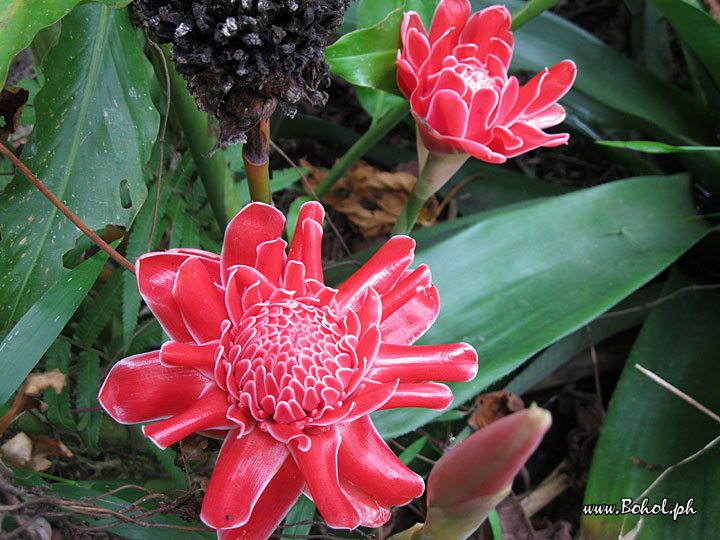Red Ginger Lily
