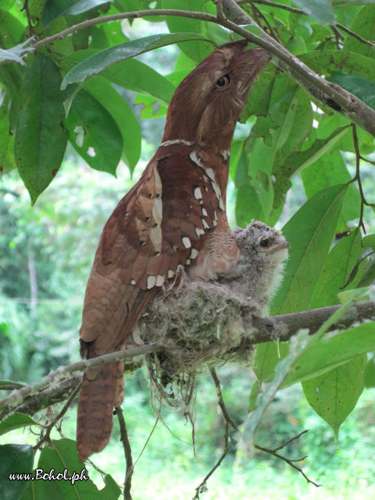 Philippine Frogmouth with chick