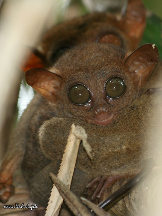 Philippine Tarsier with baby