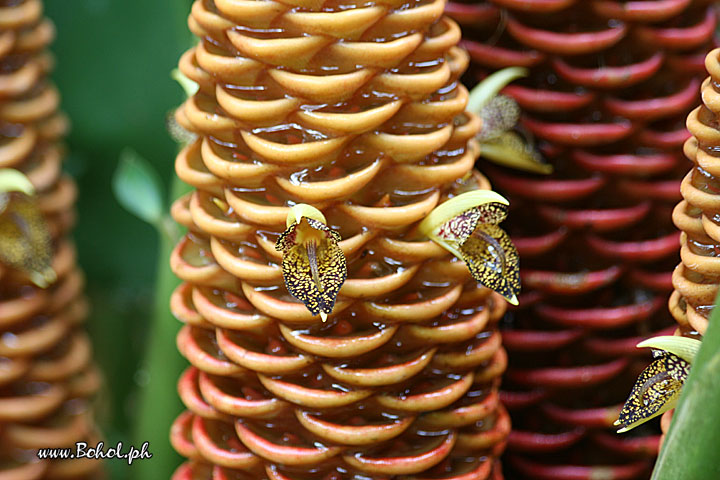 Beehive Ginger Flowers