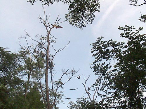 Huge Bats near Anda