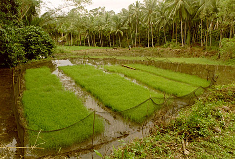 Young rice, ready to be planted