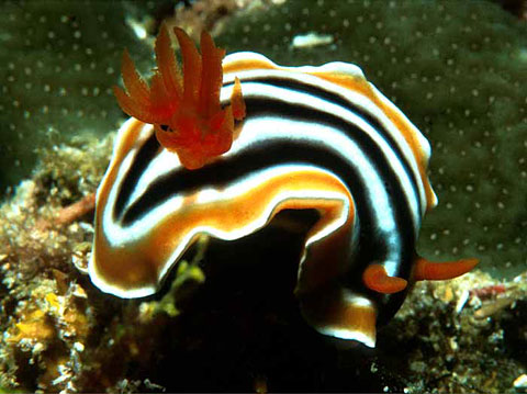 Nudibranch <i>Chromodoris magnifica</i>