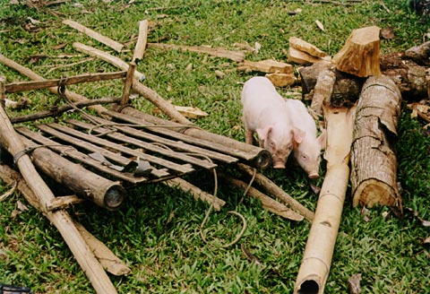 Pigs with Carabao Sledge