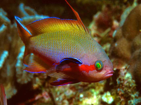 Red Cheeked Anthias (Male)