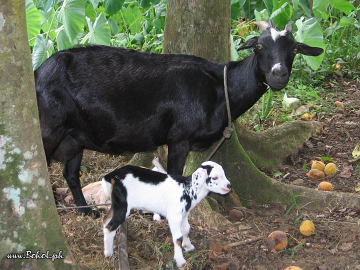 Outer Banks Hotels >> Kanding or Goat