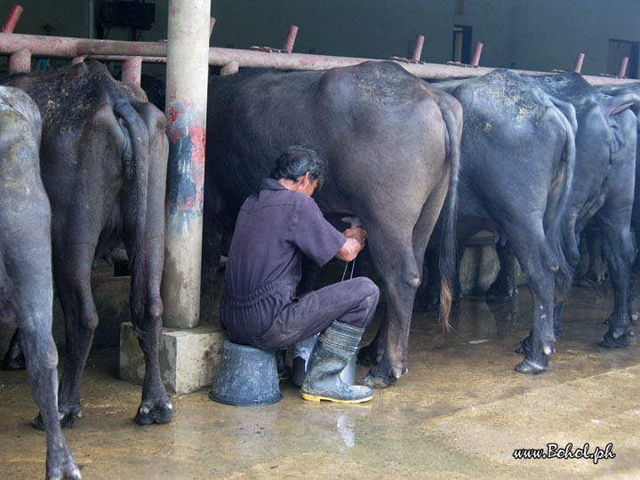 Milking at Ubay Dairy Farm