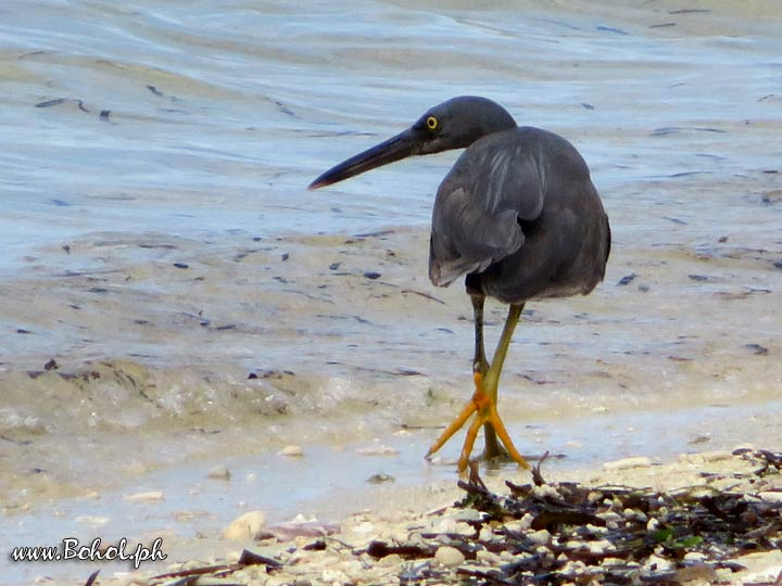 Blue Reef Heron
