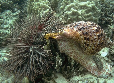 A triton's trumpet attacking a crown-of-thorns starfish